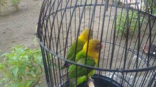 Cara menjodohkan lovebird bagi pemula