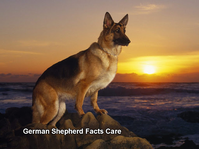 German Shepherd Facts Care