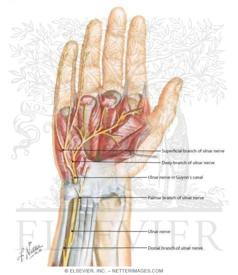 Print Nerve Entrapments Of The Wrist And Hand Flashcards