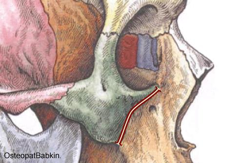 Скуло-верхнечелюстной шов, sutura zygomaticomaxillaris