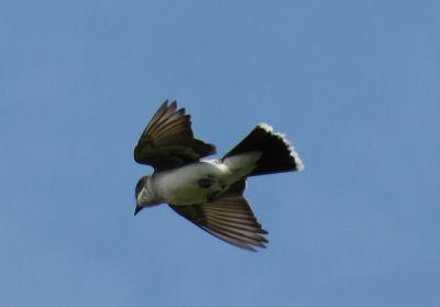 kingbird flying