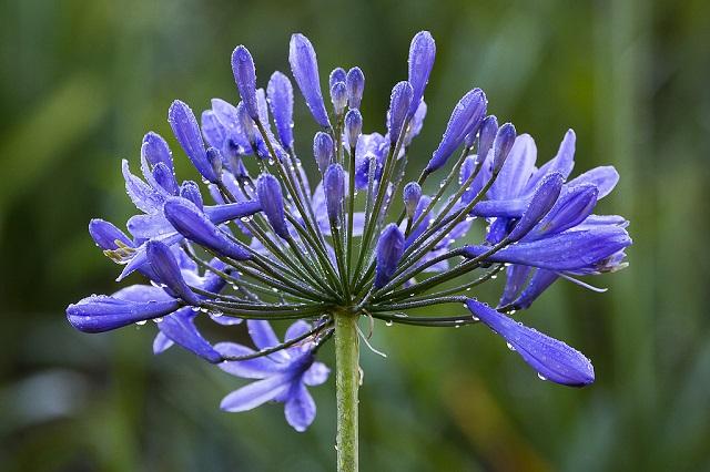 hoa màu tím thanh anh