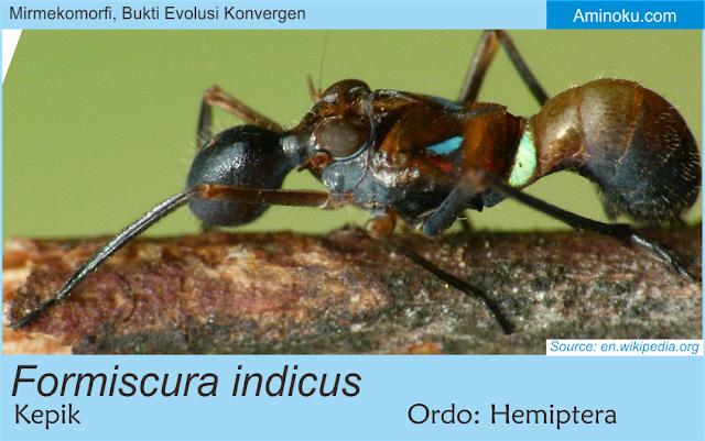 Formiscura indicus