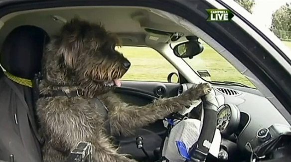 New Zealand Rescue Dogs Learn To Drive Mini Cooper