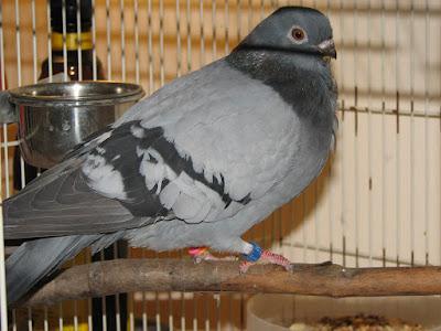 Cravaté Figurita - owl pigeons