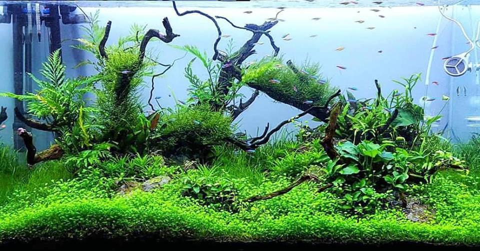 hồ thủy sinh bố cục lũa đơn giản với trân châu của tác giả Filipe Oliveira