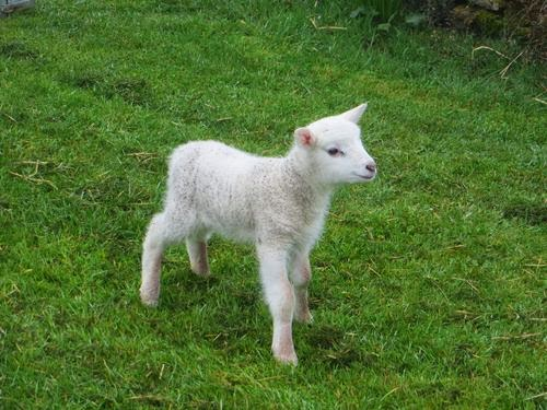 Us in Orkney: Limpy the lamb - update no 2