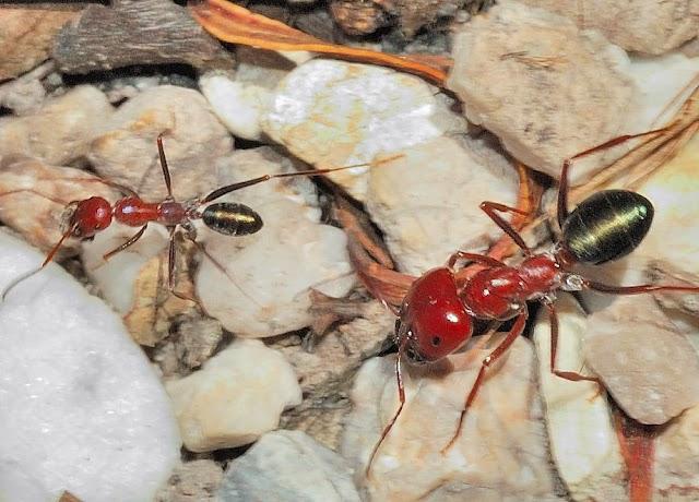 紫彩虹臭蟻 Iridomyrmex purpureus- 世界最大型虹蟻