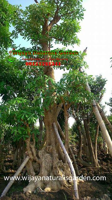 Tukang Taman Surabaya Barat, ,Tukang Taman Surabaya Murah,Tukang Taman Surabaya,Tukang Taman Surabaya Jatim,Tukang Taman Surabaya dan Malang, Tukang Taman Surabaya Timur, Jasa Tukang Taman Surabaya