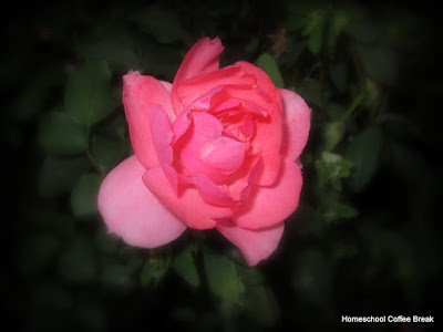 one of the last roses of summer - Wordless Wednesday on Homeschool Coffee Break @ kympossibleblog.blogspot.com
