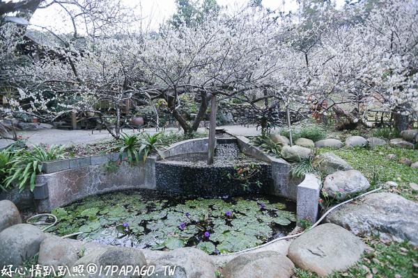 《台中.新社》2018風林谷民宿賞梅花園,60棵老梅樹和6棵老樟樹,還有漂亮小木屋
