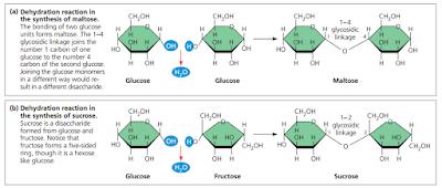 Ikatan  glikosidik, Ikatan  glikosidik adalah, pembentukan disakarida, disakarida adalah, sukrosa, tersusun dari glukosa dan fruktosa, sukrosa adalah, reaksi pembentukan maltosa, maltosa adalah