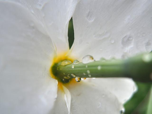 narcis met regendruppels