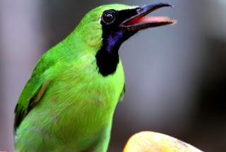 Pemasteran Burung Cucak Hijau