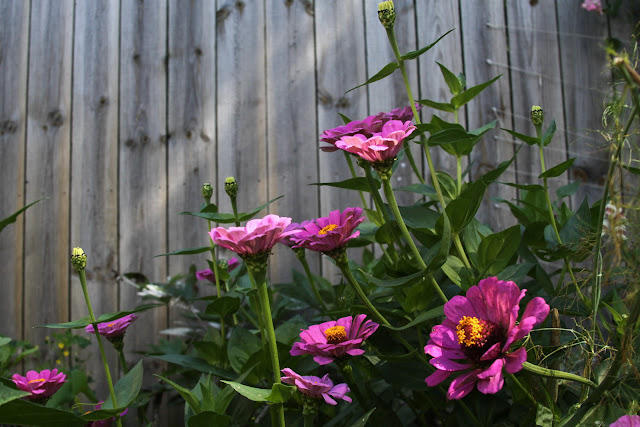 zinnias, gardening, Anne Butera, My Giant Strawberry
