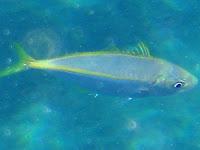 Gelbflossen-Makrele