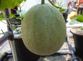 tanaman hidroponik melon