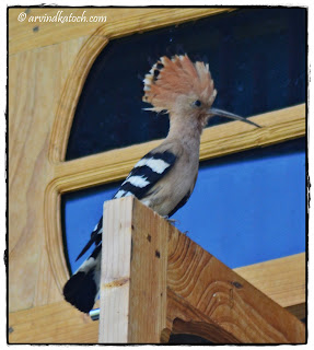 Hoopoe, Full Crown,