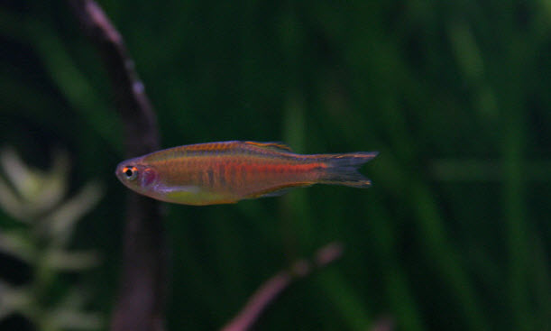 Danio choprae or choprai - Glowlight danio - Aquarium Pictures