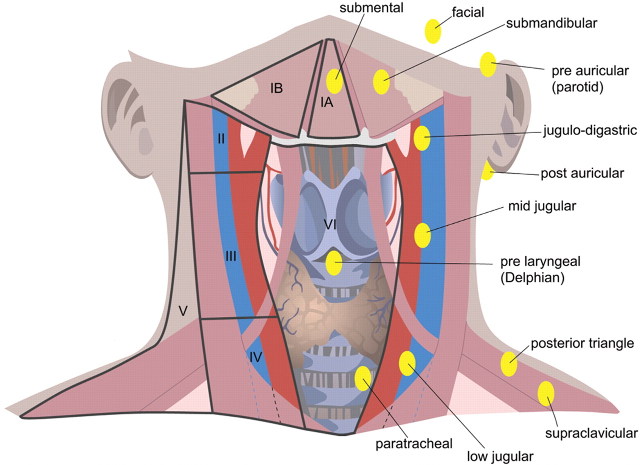 Lymph Nodes in Neck Diagram - Bing images