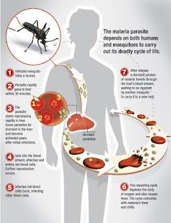 Penyakit Malaria : Gejala, Ciri Ciri, Dan Pengobatannya