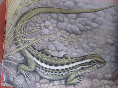 Lagartija de los exploradores Liolaemus exploratorum