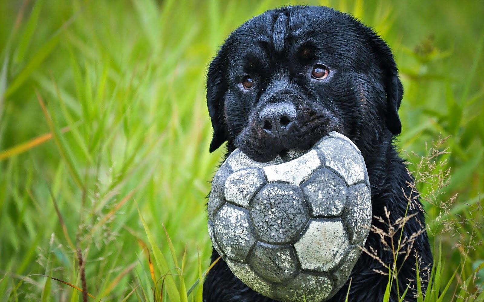 Hond met een lekke voetbal in zijn bek