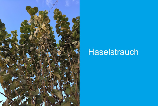 Haselstrauch