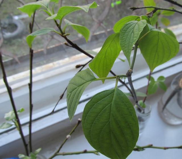 на веточках дома распустились листья