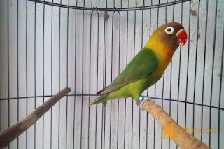 cincin lovebird, ring lovebird