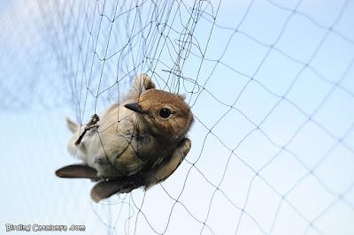 Pájaro capturado con una red