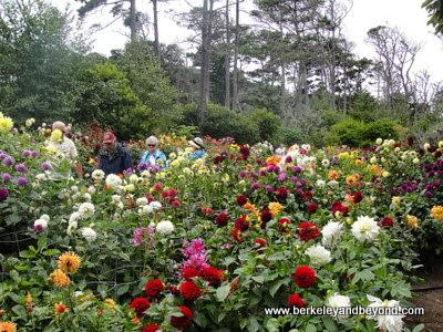 dahlia garden at Mendocino Coast Botanical Gardens in Fort Bragg, California
