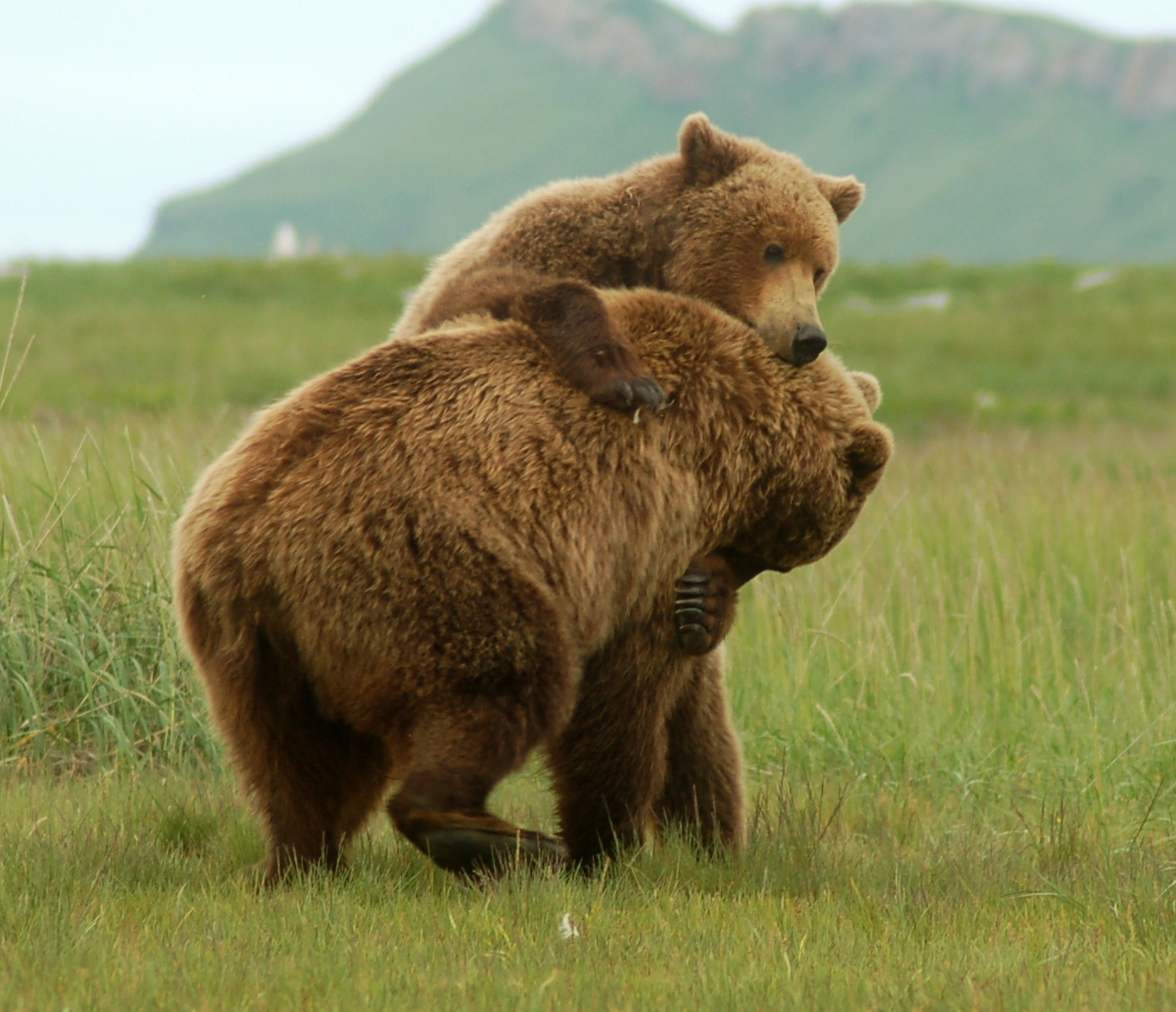 All About Animal Wildlife: Grizzly Bear Images-Photos and ...