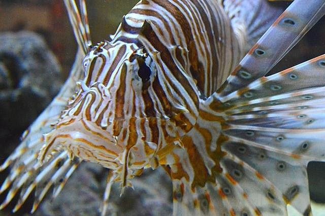 Pterois , si Ikan Singa (Lion Fish) Yang Indah Tetapi Beracun