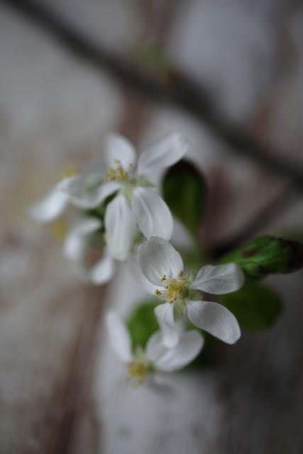omenapuunkukka, valokuvaus, #kukkailottelua