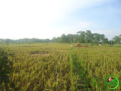 Hamparan sawah dan sisa batang padi di Blok Tegal Sungsang