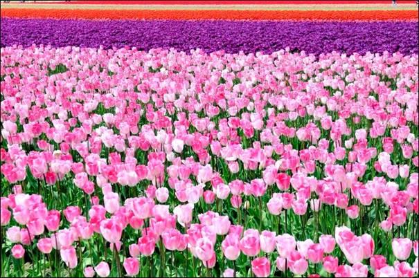 مزارع الزهور image044-780236.jpg