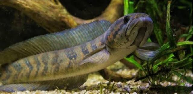 Manfaat Ikan Gabus Untuk Bayi