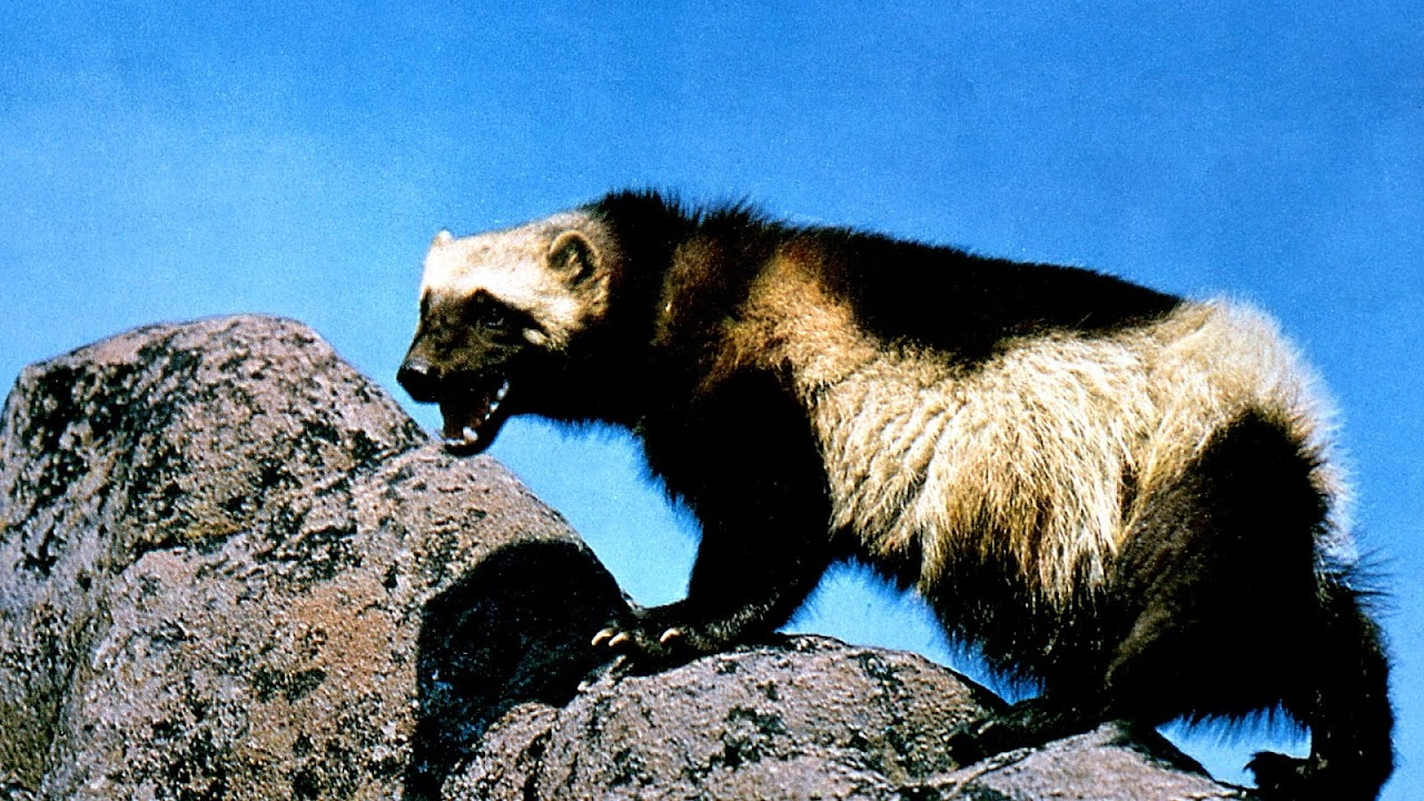 Endangered Animals In The Taiga Danger Choices