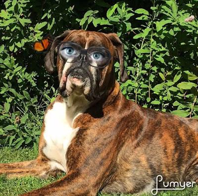 Boxer Amy mit Brille und Schmetterling