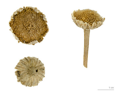 Three images of a dry pyrethrum seed head