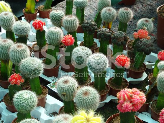 Kaktus-lollipop-moon-cacti-grafted-yellow-red-cactus-terrarium-jakarta-indonesia-blogspot-com7