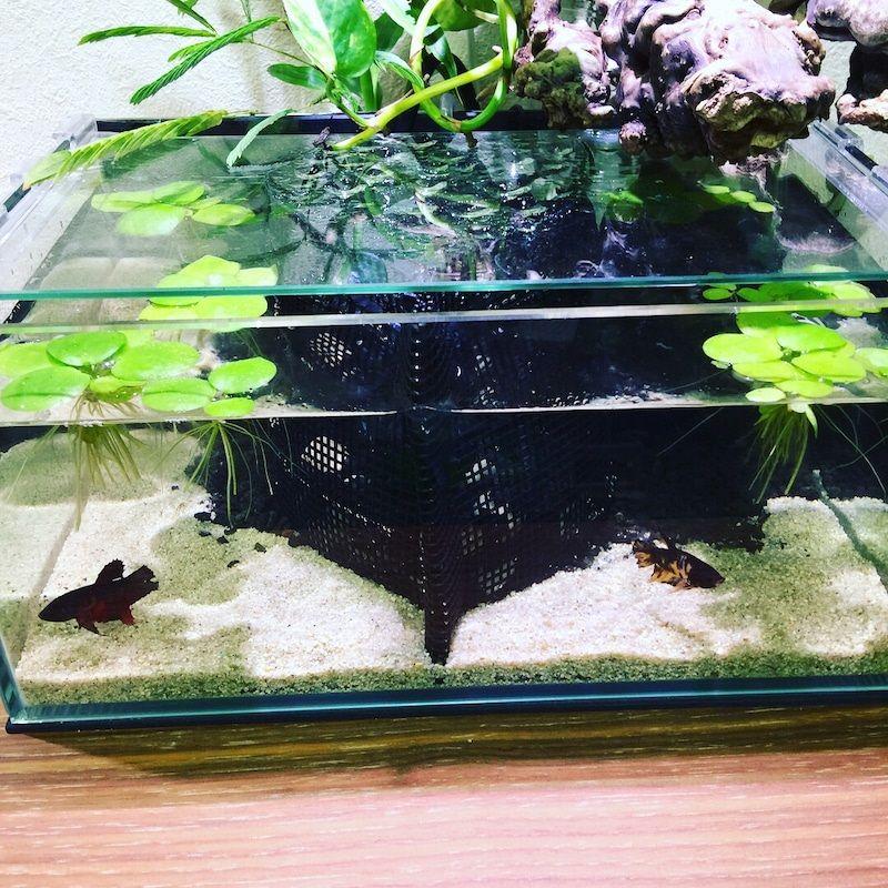 The Basics of Betta Fish Tank Setup