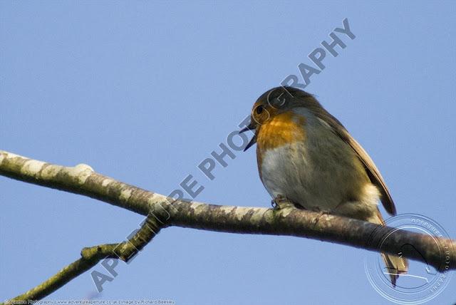 Robin bird singing against a blue sky
