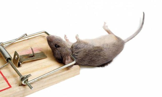 تخلص من الفئران في بيتك بهذه الطريقة البسيطة  تعرف كيف تمنع اي فار من دخولك بيتك  طوال حياتك وتعيش بدون قلق