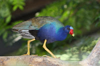 Toronto Zoo Birds. (Purple Gallinule)