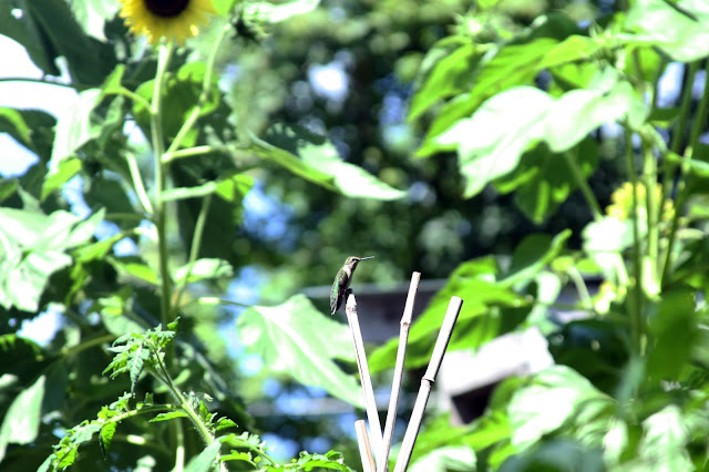 garden, summer, hummingbird, ruby throated hummingbird, female hummingbird, Anne Butera, My Giant Strawberry