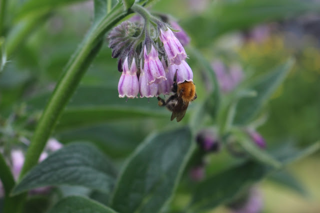 Another bee demonstrates how it uses its hooks to hang onto a comfrey flower