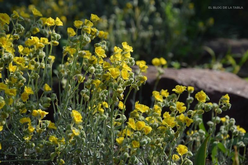 Helianthemum caput-felis (jarilla de cabeza de gato)
