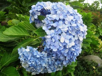 Bunga Tercantik di Dunia-Hydrangea